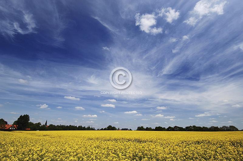 Rapsfeld vor blauem Himmel
