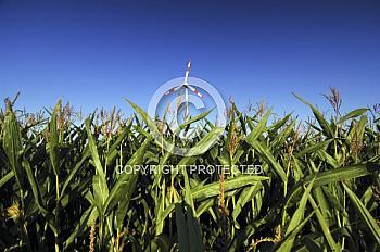 Maisfeld mit Windkraftanlage
