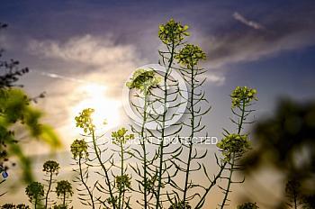 Rapsblüte im Sonnenuntergang