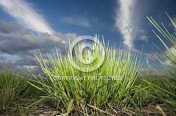 Gras am Bourtanger Moor