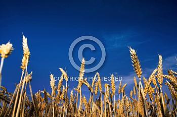 Kornfeld vor blauem Himmel