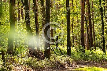 Wald bei Thuine