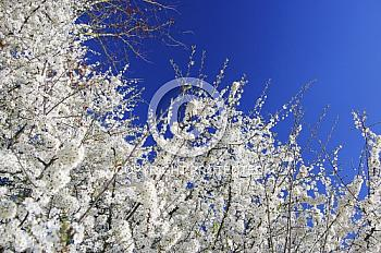 Weisse Blüten vor blauem Himmel